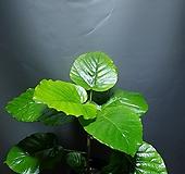 휘커스움베르타 휘커스움베르타 관엽식물 공룡꽃식물원 10|