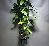 임페리얼호야 대왕호야 수입호야 공룡꽃식물원|Hoya carnosa