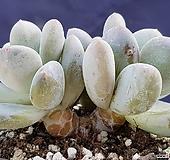 후레뉴목대5867|Pachyphtum cv Frevel