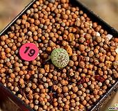 코노피튬 위트버젠스|Conophytum Wittebergense