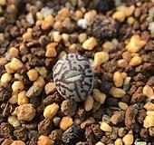 코노피튬 위트버젠스 방사형 180113|Conophytum Wittebergense