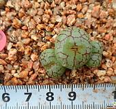 380 위트버젠스|Conophytum Wittebergense