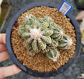 28두 실생 화롱(花籠) (Aztekium ritteri, seedling)|