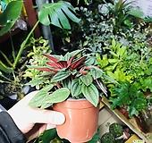 에덴로소(공기정화식물)특이식물|