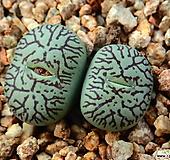위트버젠스_y21|Conophytum Wittebergense