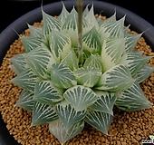 백사전(白蛇傳)(糊斑) 자구 (Haworthia obtusa Hakuja-den reverse variegated, offset)|
