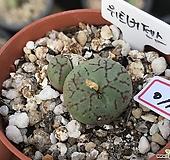 위트버젠스|Conophytum Wittebergense