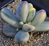 방울복랑금수박금(Z184)|Cotyledon orbiculata cv variegated