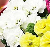 장미앵초_흰색|