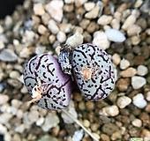 위트버젠스 270121|Conophytum Wittebergense