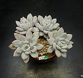 후레뉴-6두(1.21) Pachyphtum cv Frevel