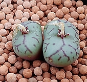 위트버젠스코노피튬|Conophytum Wittebergense