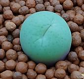 크림코노피튬(일본수입)|Conophytum