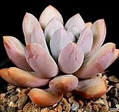 후레뉴 28-104 Pachyphtum cv Frevel