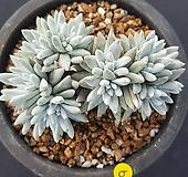 묵은자연군생 화이트그리니10두 Dudleya White gnoma(White greenii / White sprite)
