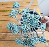 라울(중품)묵은둥이|Sedum Clavatum