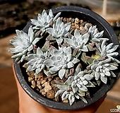 (특가)화이트그리니(자연군생) 28-286 Dudleya White gnoma(White greenii / White sprite)