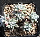 화이트그리니7두 0122 Dudleya White gnoma(White greenii / White sprite)