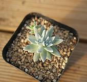 화이트그리니 목대 122-55 Dudleya White gnoma(White greenii / White sprite)