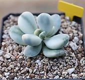 방울복랑금 뿌리튼튼 녹좋아요 눈튼자구3개달림|Cotyledon orbiculata cv variegated