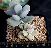 방울복랑금 군생(무지같이있어 세력좋아요!! 자구금도 보이네요)|Cotyledon orbiculata cv variegated