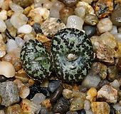 Conophytum obcordellum ursprungianum-2두(코노피튬 우르스-흑점1.22)|Conophytum