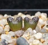 Conophytum luckhoffii ssp.-2두(코노피튬 루코피1.22)|Conophytum