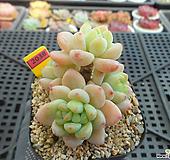 핑크라울1-2038|Sedum Clavatum