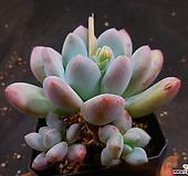 후레뉴 1022-596 Pachyphtum cv Frevel