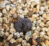콤프토니(C.comptonii)|