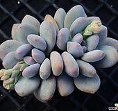 후레뉴_p62 Pachyphtum cv Frevel