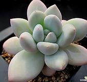 후레뉴 1-861 Pachyphtum cv Frevel