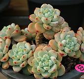 핑크라울묵은둥이133|Sedum Clavatum