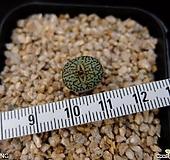 위트버젠스 당초문(Conophytum minimum wittebergense Karakusa 1H, ex.Japan)|Conophytum Wittebergense