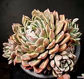 원종에보니*자라고사교배종(대) 30-52 Echeveria mexensis Zaragosa