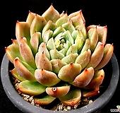 에보니*자라고사교배종(중) 30-61 Echeveria mexensis Zaragosa