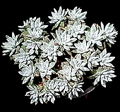 화이트그리니(자연군생) 30-121 Dudleya White gnoma(White greenii / White sprite)