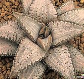 실버타란튤라 자구 (Haworthia koelmaniorum cv. Silver Tarantula)|