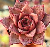 레드에보니45 Echeveria agavoides ebony red