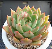 핑크드래곤 J01-962|