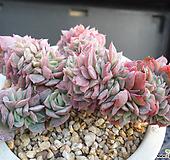 블랫블루아나철화 J01-968|Echeveria bradburiana