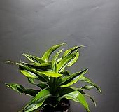 드라세나레몬라임 중품 공룡꽃식물원 85|Echeveria Lemon and Lime