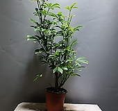 목대홍콩야자 홍콩야자 공기정화식물 공룡꽃식물원 37|