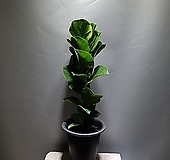 떡갈고무나무 고무나무 관엽식물 공룡꽃식물원 109|Ficus elastica