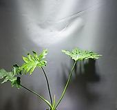 호프셀렘 셀렘 중품 공룡꽃식물원 45|