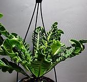 코브라아비스 아비스 대품 공룡꽃식물원 288|