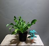 수입아비스 아비스 수입식물 공룡꽃식물원 64|