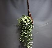 화이트복주머니 디시디아화이트 수입식물 공룡꽃식물원 124|