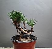 소나무 공룡꽃식물원 야생화 79|