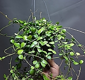 호야헤쉬겔리아나 호야 수입호야 공중식물 공룡꽃식물원 195|Hoya carnosa